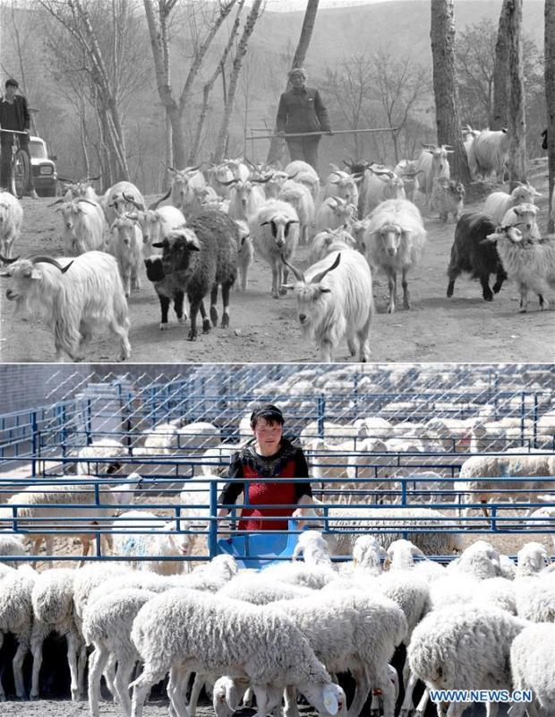 Combo photo shows villager Bai Shengyou grazing a flock of sheep at Liangcun Township in Yan\'an, northwest China\'s Shaanxi Province on April 27, 1993 (top, taken by Tao Ming) and a staff member feeding the sheep at a livestock farm in Ansai District of Yan\'an on April 23, 2019 (bottom, taken by Liu Xiao). Yan\'an, a former revolutionary base of the Communist Party of China (CPC), is no longer labeled \