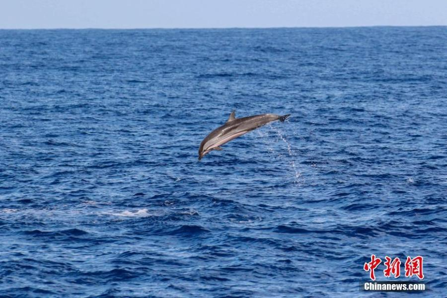 A striped dolphins is seen in the South China Sea, May 6, 2019. Chinese scientists conduct the world\'s first investigation of whales in the waters.  Sperm whales, striped dolphins, and other rare cetaceans have been observed in the South China Sea, with a high probability of settled groups, according to the world\'s first investigation of whales in the waters, conducted by the Chinese Academy of Sciences. (Photo/China News Service)