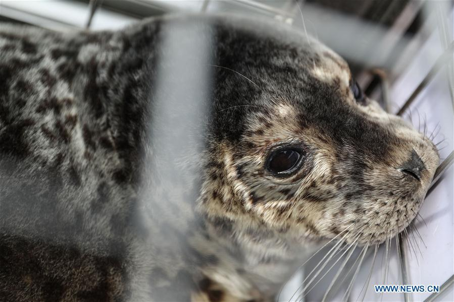 Photo taken on May 10, 2019 shows a spotted seal to be released into the sea in Dalian, northeast China\'s Liaoning Province. Thirty-seven spotted seals were released into the sea on Friday in the coastal city of Dalian in northeast China\'s Liaoning Province. The 37 released seals were among 100 spotted baby seals that were illegally poached in Feb. 2019, according to local authorities. A total of 39 seals died, and the surviving 61 have been taken care of by animal experts and vets in local aquariums and the Liaoning Ocean and Fisheries Science Research Institute. The first batch of 24 seals was released in April. The seals released to the sea on Friday were all fully recovered and are healthy enough to survive in natural habitat waters, according to Lu Zhichuang, a researcher with the institute. Spotted seals are under Class One national protection in China. (Xinhua/Pan Yulong)