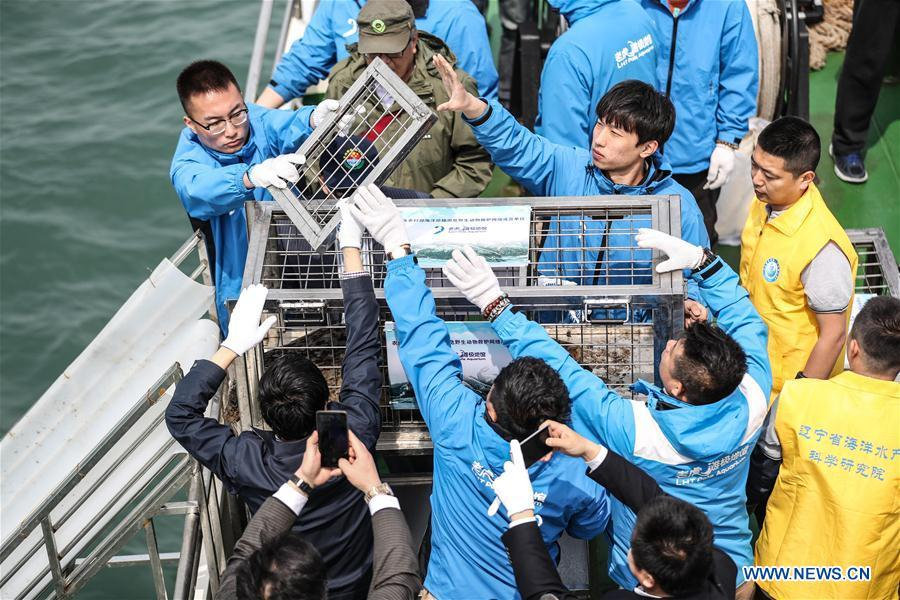 Staff members prepare to release a spotted seal into the sea in Dalian, northeast China\'s Liaoning Province, May 10, 2019. Thirty-seven spotted seals were released into the sea on Friday in the coastal city of Dalian in northeast China\'s Liaoning Province. The 37 released seals were among 100 spotted baby seals that were illegally poached in Feb. 2019, according to local authorities. A total of 39 seals died, and the surviving 61 have been taken care of by animal experts and vets in local aquariums and the Liaoning Ocean and Fisheries Science Research Institute. The first batch of 24 seals was released in April. The seals released to the sea on Friday were all fully recovered and are healthy enough to survive in natural habitat waters, according to Lu Zhichuang, a researcher with the institute. Spotted seals are under Class One national protection in China. (Xinhua/Pan Yulong)
