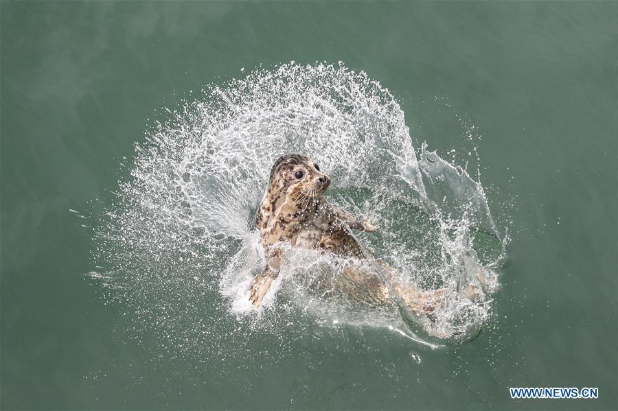 A spotted seal is released into the sea in Dalian, northeast China\'s Liaoning Province, May 10, 2019. Thirty-seven spotted seals were released into the sea on Friday in the coastal city of Dalian in northeast China\'s Liaoning Province. The 37 released seals were among 100 spotted baby seals that were illegally poached in Feb. 2019, according to local authorities. A total of 39 seals died, and the surviving 61 have been taken care of by animal experts and vets in local aquariums and the Liaoning Ocean and Fisheries Science Research Institute. The first batch of 24 seals was released in April. The seals released to the sea on Friday were all fully recovered and are healthy enough to survive in natural habitat waters, according to Lu Zhichuang, a researcher with the institute. Spotted seals are under Class One national protection in China. (Xinhua/Pan Yulong)