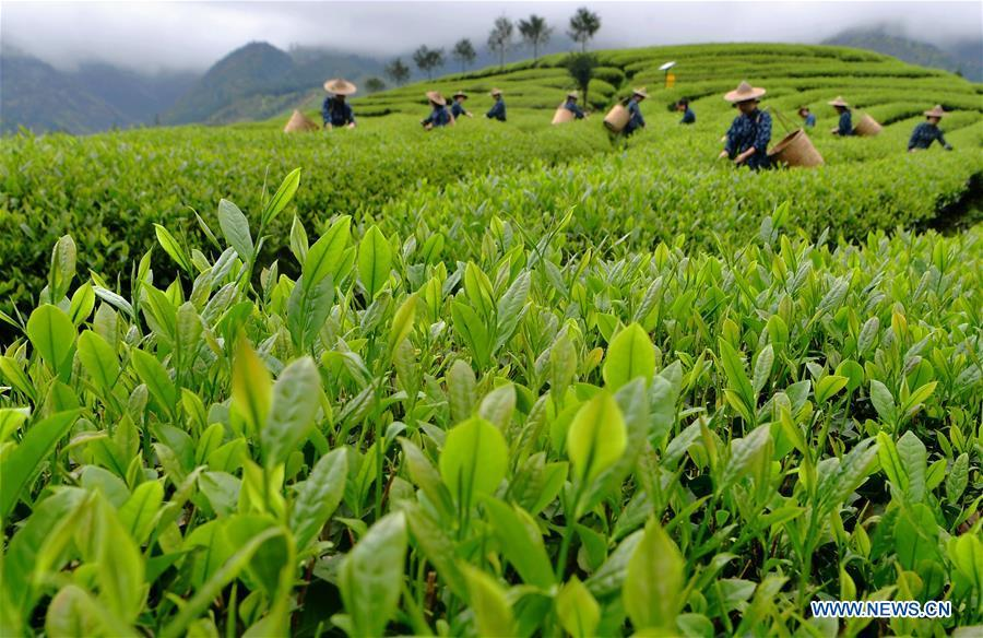 Farmers pick tea leaves at a tea garden of Wuyishan, southeast China\'s Fujian Province, on April 14, 2019. As an important part of Asian culture, tea is a special bond among Asian countries to deepen friendship and boost mutual exchanges. China will hold the Conference on Dialogue of Asian Civilizations starting from May 15. Under the theme of \