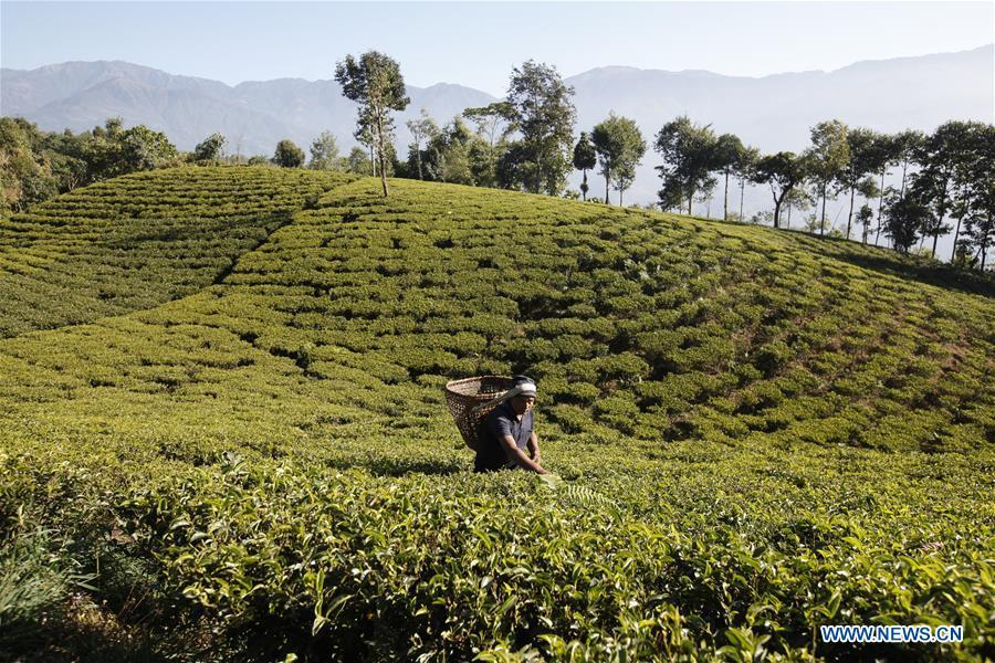 49-years-old farmer Duj Bahadur Dhugana works at his tea garden in Sandakapur Rural Municipality of Ilam District, Nepal, on Nov. 25, 2018. As an important part of Asian culture, tea is a special bond among Asian countries to deepen friendship and boost mutual exchanges. China will hold the Conference on Dialogue of Asian Civilizations starting from May 15. Under the theme of \