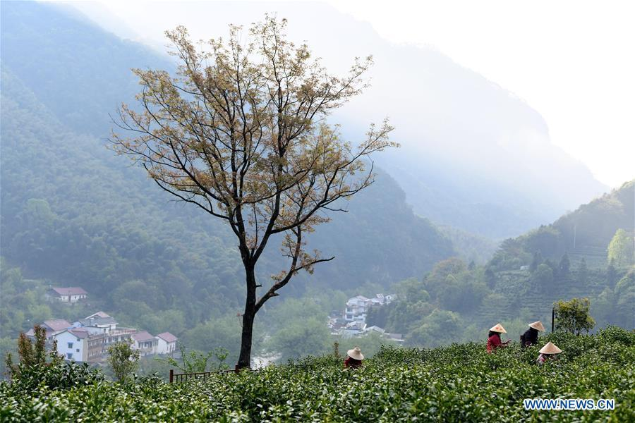 Farmers pick tea leaves in Tingxi Township of Jing County, east China\'s Anhui Province, on April 13, 2019. As an important part of Asian culture, tea is a special bond among Asian countries to deepen friendship and boost mutual exchanges. China will hold the Conference on Dialogue of Asian Civilizations starting from May 15. Under the theme of \