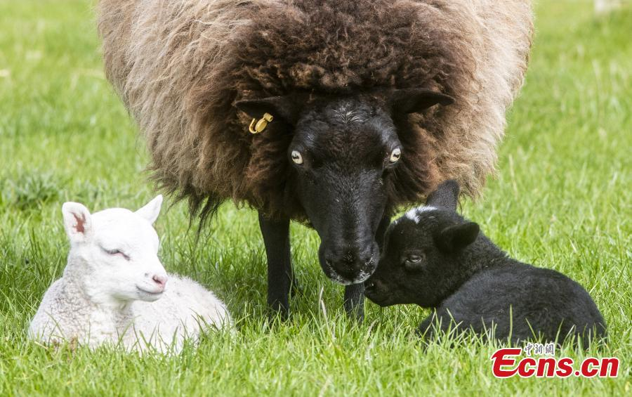 One-week-old female twin lambs, one white and one black play with their mother at East Links Family Park, East Lothian. The lambs, one black and one white, were born on April 29, at East Links Family Park, in Dunbar, East Lothian. It is rare for two lambs to be born out of the same mother, but be a completely different colour.  (Photo/VCG)