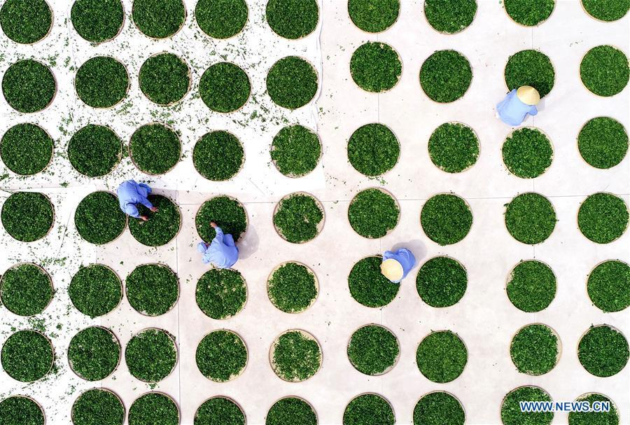 Aerial photo taken on April 15, 2019 shows farmers drying ginkgo leaves in Tancheng County, Shandong Province. As an important part of Asian culture, tea is a special bond among Asian countries to deepen friendship and boost mutual exchanges. China will hold the Conference on Dialogue of Asian Civilizations starting from May 15. Under the theme of \
