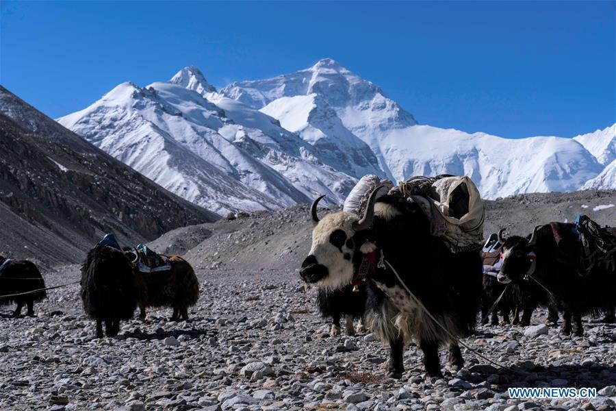Yaks transport goods and materials to camps at higher altitude for the climbers on the northern face of Mount Qomolangma, southwest China\'s Tibet Autonomous Region, April 25, 2019. Every year, for a few weeks, hundreds of climbers and supporting personnel come to the base camp of the northern face of Mount Qomolangma, trying to reach the summit of the tallest and most famous mountain in the world. Before starting climbing, they need to hike several times between elevations from 5,000 meters to 7,000 meters, giving their bodies some time to adapt. When this process is over, it\'s all up to the weather. The base camp is a popular place to wait for the window. Among the six camps on the northern face, the base camp at an altitude of 5,200 meters is the furthest cars can reach and therefor the most equipped. Besides food and accommodation, climbers can also enjoy tea and massage. They can also play football on perhaps the highest field. There\'s even a simple gym in the camp. Environmental protection is a priority here. Garbage sacks are given to each climbing team. Special containers are put in every camp to collect trash and sewage. The collected trash must be treated 100 kilometers away, and the only road is a zigzagging track. It is not trucks, but yaks that are generally used to make the journey. Actually yaks are vital on the mountain. Beyond the base camp, yak is the only reliable transport. (Xinhua/Sun Fei)