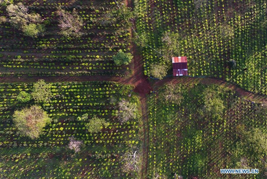 Photo taken on Nov. 16, 2018 shows a tea plantation at Bolaven Plateau in Champasak Province, Laos. As an important part of Asian culture, tea is a special bond among Asian countries to deepen friendship and boost mutual exchanges. China will hold the Conference on Dialogue of Asian Civilizations starting from May 15. Under the theme of \