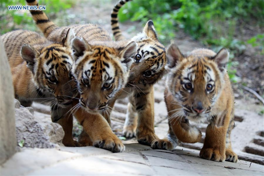 South China Tiger cubs are seen at a zoo in Luoyang, central China\'s Henan Province, May 11, 2019. Six South China Tiger cubs, who were born in the zoo at the beginning of this year, are now allowed to meet the public. (Xinhua/Liu Gaoyang)