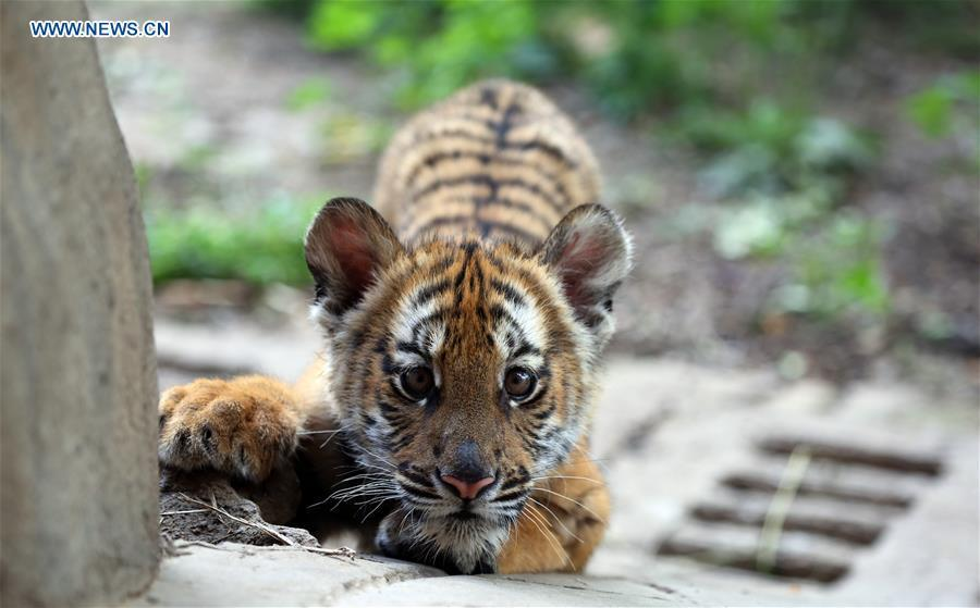 A South China Tiger cub is seen at a zoo in Luoyang, central China\'s Henan Province, May 11, 2019. Six South China Tiger cubs, who were born in the zoo at the beginning of this year, are now allowed to meet the public. (Xinhua/Liu Gaoyang)
