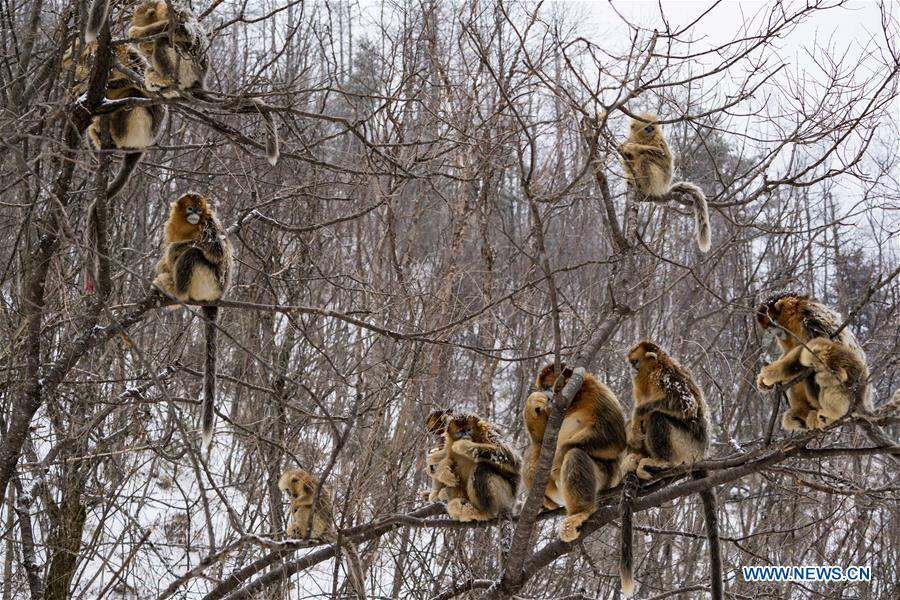 Photo taken on Jan. 25, 2018 shows golden monkeys in Shennongjia National Park of central China\'s Hubei Province. (Xinhua/Du Huaju)