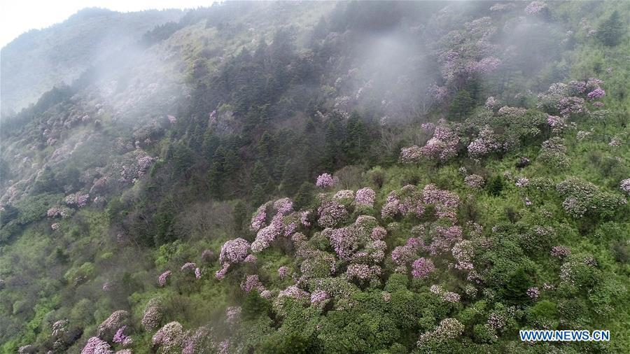 Aerial photo taken on May 13, 2019 shows blooming azalea in Shennongding Scenic Area in central China\'s Hubei Province. (Xinhua/Du Huaju)