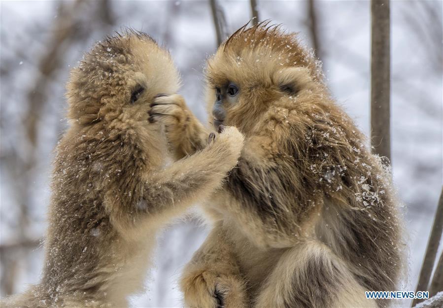 Photo taken on Jan. 10, 2017 shows golden monkeys in Shennongjia National Park of central China\'s Hubei Province. (Xinhua/Du Huaju)