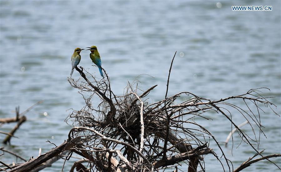 Blue-tailed bee eaters are seen in Haikou, south China\'s Hainan Province, May 14, 2019. According to statistics from Haikou Duotan Wetlands Institute, nearly 200 blue-tailed bee eaters reside in Haikou. (Xinhua/Yang Guanyu)