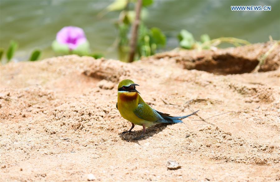 A blue-tailed bee eater is seen in Haikou, south China\'s Hainan Province, May 14, 2019. According to statistics from Haikou Duotan Wetlands Institute, nearly 200 blue-tailed bee eaters reside in Haikou. (Xinhua/Yang Guanyu)