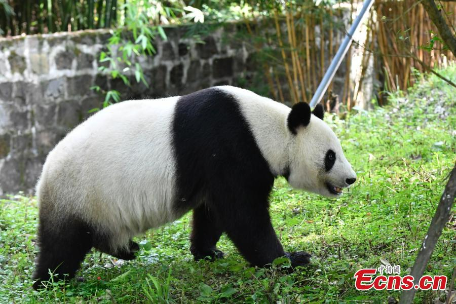 Two giant pandas have returned to China after staying in the United States for years. Twenty-seven-year-old female giant panda Bai Yun and her son, six-year-old Xiao Liwu, arrived in southwest China\'s Sichuan Province Thursday, after the San Diego Zoo\'s conservation loan agreement with China ended.(Photo: China News Service/ An Yuan)