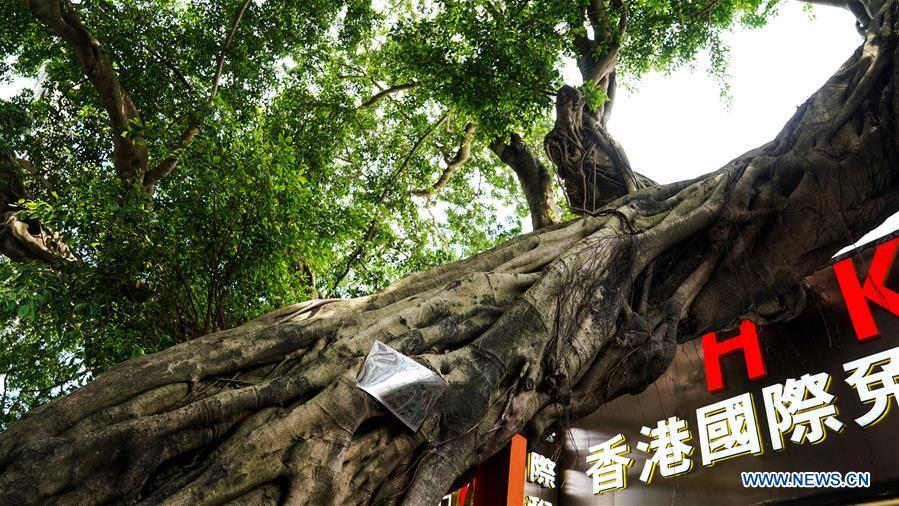 Photo taken on May 18, 2019 shows the banyan tree in the Chung Ying Street. The Chung Ying Street (Chung Ying means China and Britain), linking Shenzhen of Guangdong Province and Hong Kong in south China, has once again set sail in the development of the Guangdong-Hong Kong-Macao Greater Bay Area and embarked on a new journey towards high-quality development. (Xinhua/Liu Jie)