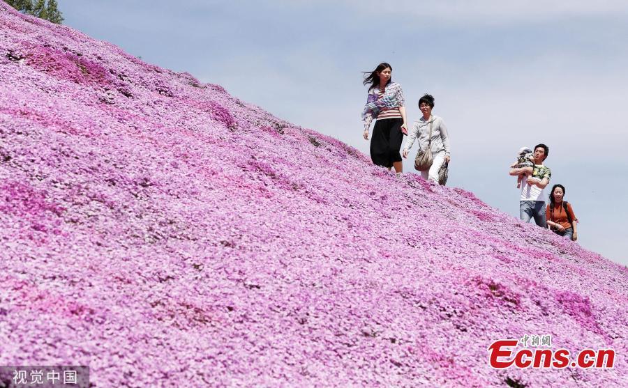Visitors enjoy Shibazakura (pink moss) filed at a park in Hokkaido, Japan on May 19, 2019. (Photo/VCG)
