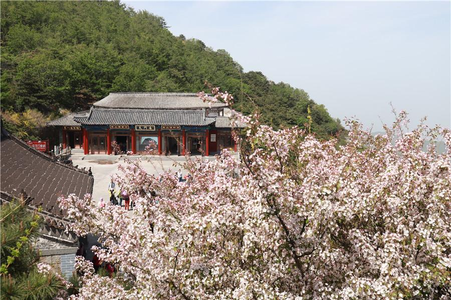 Crabapple flowers embrace Taishan Mountain.  (Photo by Sui Xiang for chinadaily.com.cn)