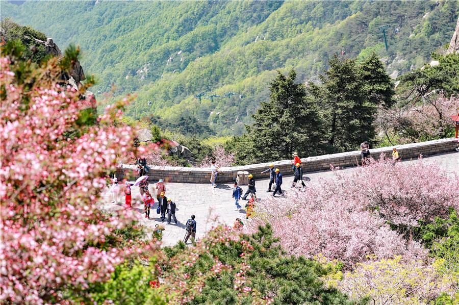 Crabapple trees at Taishan Mountain are in blossom. (Photo by Sui Xiang for chinadaily.com.cn)
