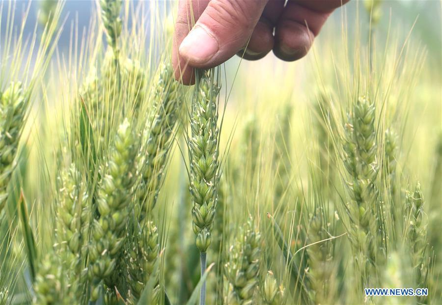 A farmer checks the growth of wheat in Ganglingcheng Village of Linzhang County, north China\'s Hebei Province, May 20, 2019, a day before Xiaoman. Traditional Chinese solar term Xiaoman (grain buds) falls on May 21 this year, which means seeds from grain are becoming full. (Xinhua/Hu Gaolei)