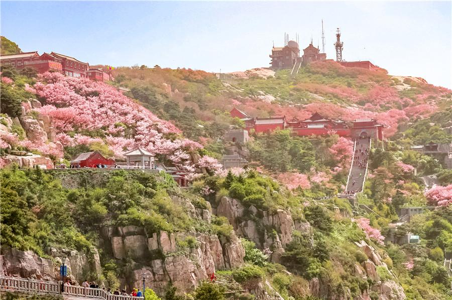 Crabapple flowers carpet green hills and slopes with pink clusters. (Photo by Sui Xiang for chinadaily.com.cn)  The crabapple trees on Taishan Mountain are in their prime for blossoms in May, carpeting green hills and slopes with pink clusters.  The flowers have attracted flocks of tourists to the mountain. Temperatures vary in the low and high areas of the mountain, thus tourists can enjoy rich colors from different stages of the crabapple flower life cycle, including a stage which presents white at the lower part and florescent pink clusters at the top of the mountain.