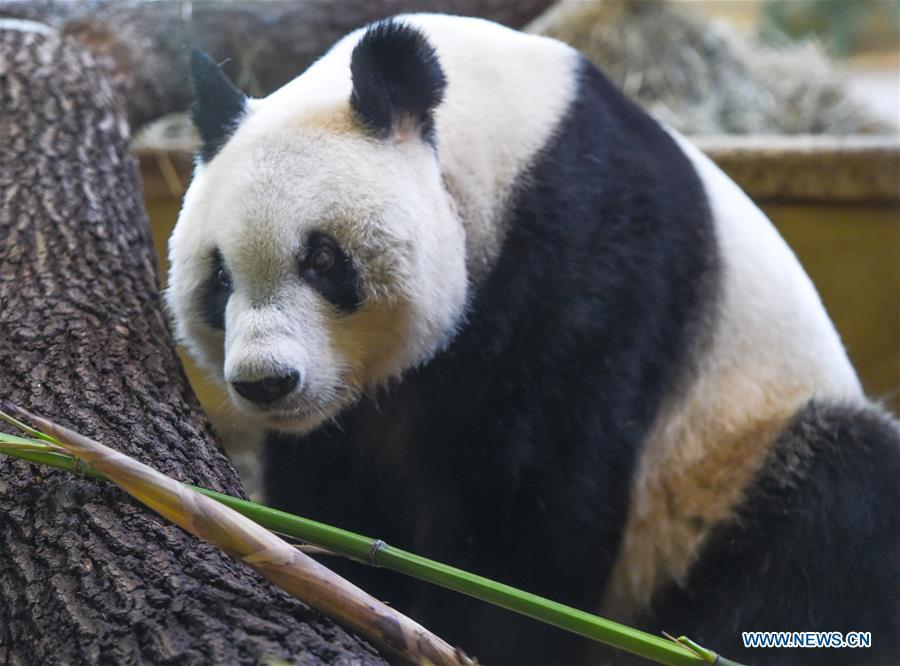 Giant panda Yuan Yuan is seen at the Schoenbrunn Zoo in Vienna, Austria, on May 20, 2019. Giant panda Yuan Yuan was officially handed over to the zoo in a grand ceremony on Monday morning. Yuan Yuan is a 19-year-old male who has been in Vienna since mid-April and quarantined for a month before visitors could take a look at him. (Xinhua/Guo Chen)