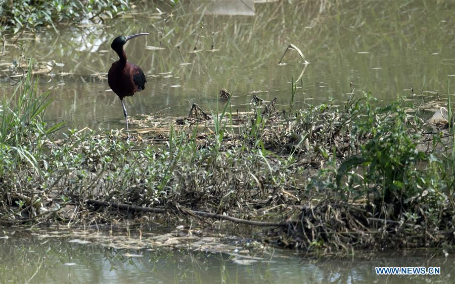A glossy ibis rests at Hanjiang River wetland park in Hanzhong, northwest China\'s Shaanxi Province, May 21, 2019. Three glossy ibises were sighted for the first time in Shaanxi Province. The glossy ibis, a close relative to the endangered crested ibis, is under second-class state protection in China. (Xinhua/Tao Ming)
