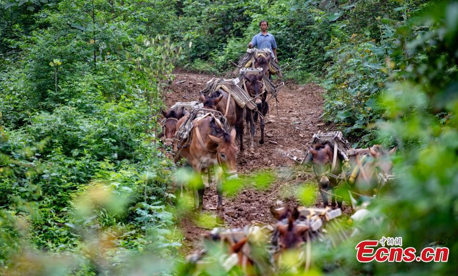 A caravan, consisting of over 20 mules and horses, transports construction materials to build a 4.2-kilometer footpath on a mountain in Xinyu City, East China's Jiangxi Province, May 21, 2019. Led by Wang Lianpin, the caravan has helped  in construction of footpaths in tourist attractions and electricity projects in areas inaccessible by vehicles for ten years. Wang's team now includes 13 members. (Photo: China News Service/Zhao Chunliang)