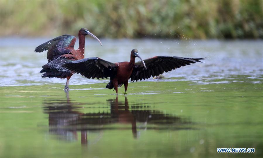 Glossy ibises are seen at Hanjiang River wetland park in Hanzhong, northwest China\'s Shaanxi Province, May 4, 2019. Three glossy ibises were sighted for the first time in Shaanxi Province. The glossy ibis, a close relative to the endangered crested ibis, is under second-class state protection in China. (Xinhua)