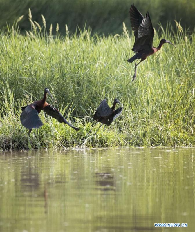 Glossy ibises are seen at Hanjiang River wetland park in Hanzhong, northwest China\'s Shaanxi Province, April 29, 2019. Three glossy ibises were sighted for the first time in Shaanxi Province. The glossy ibis, a close relative to the endangered crested ibis, is under second-class state protection in China. (Xinhua/Tao Benyao)