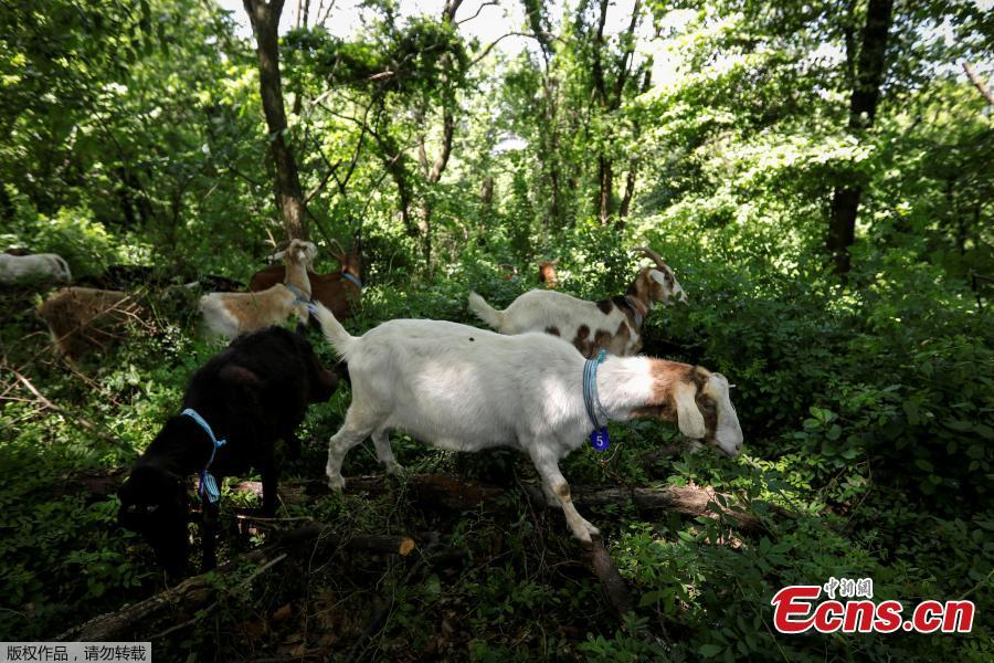 A group of 24 goats are released into New York\'s Riverside Park as \