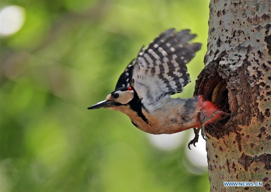 A great spotted woodpecker leaves its hole to prey for food in a forest by the Hunhe River in Shenyang, northeast China\'s Liaoning Province, May 22, 2019. (Xinhua/Yang Qing)