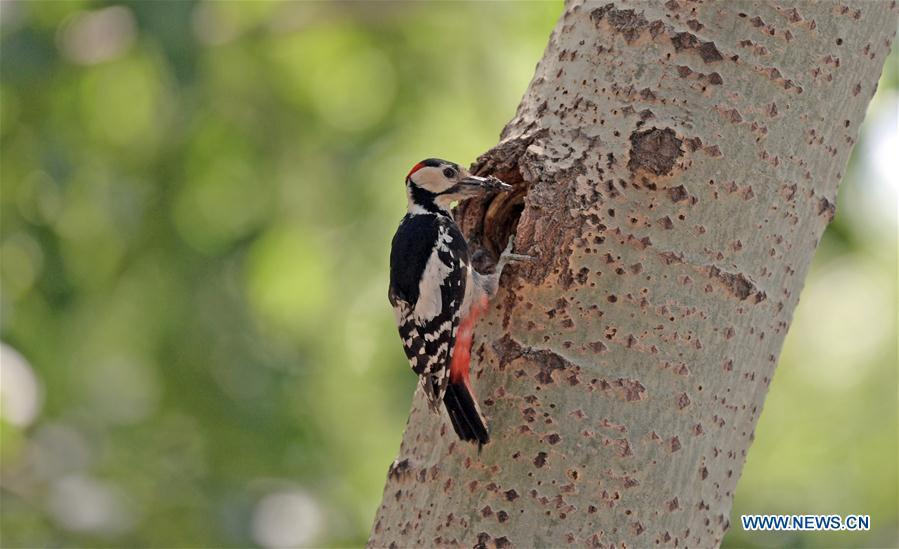 A great spotted woodpecker feeds its chick in a forest by the Hunhe River in Shenyang, northeast China\'s Liaoning Province, May 22, 2019. (Xinhua/Yang Qing)