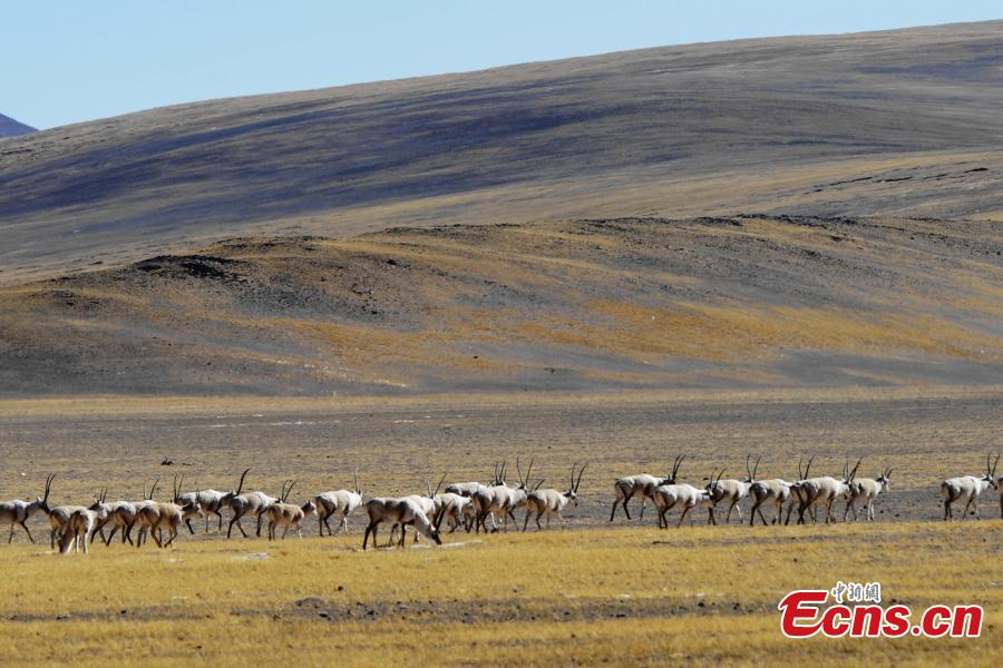 Approximately 3,000 Tibetan antelope form a spectacular scene as they migrate in Gerze County, Ngari Prefecture, Southwest China's Tibet Autonomous Region. (Photo: China News Service/ Sonam Rinchen)