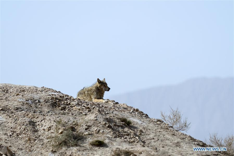 Photo taken on May 18, 2019 shows a wolf in the Altun Mountains, northwest China\'s Xinjiang Uygur Autonomous Region. There is a nature reserve covering 45,000 square kilometers of the Atlun Mountains, which are home to many wild lives. A lot of effort has gone into environmental protection in Altun over the past few decades. Ecosystems have regenerated on the nature reserve since it was set up in the 1980s to keep poaching, illegal trespassing and mining at bay. Some 400 km away from the uninhabited reserve, 3,000 meters above sea level, the workers are building a railway connecting cities in the northwestern provinces of Xinjiang and Qinghai. They get along quite well with unlikely neighbors. (Xinhua/Ding Lei)