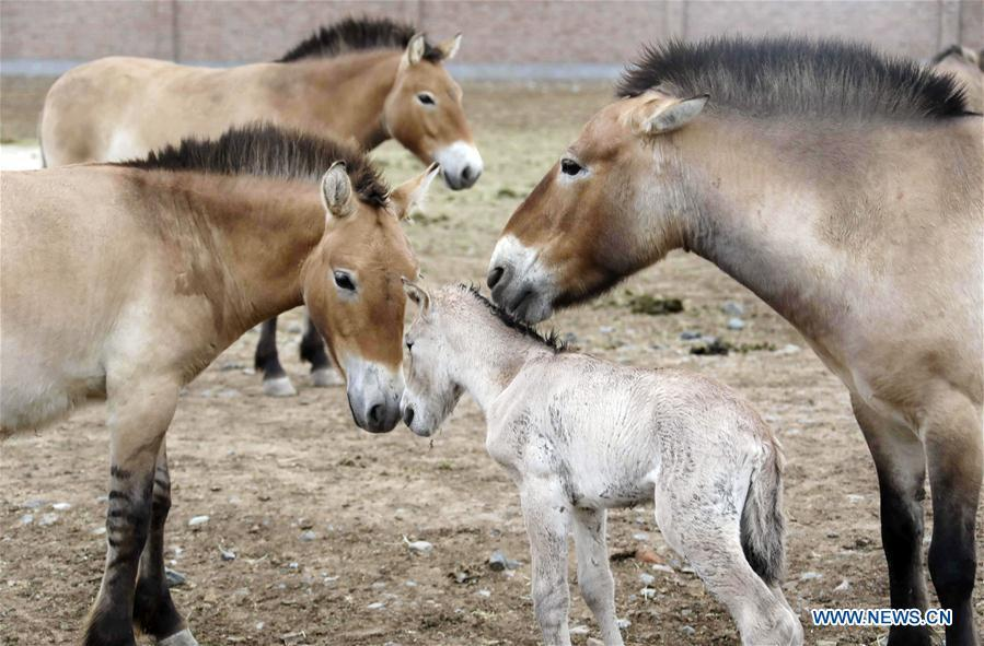 A foal of Przewalski\'s horse is seen with grown-ups at a wild horse breeding research center in northwest China\'s Xinjiang Uygur Autonomous Region, May 23, 2019. Four foals of Przewalski\'s horse, a type of endangered horse, have been born since the breeding season starts in May, a breeding center in northwest China\'s Xinjiang Uygur Autonomous Region said Thursday. Przewalski\'s horses are the only surviving horse subspecies never to have been domesticated. They have historically lived on grasslands that are now part of China\'s Xinjiang and Mongolia. (Xinhua/Zhang Hefan)