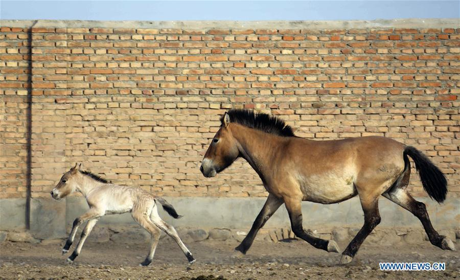 A foal of Przewalski\'s horse is seen with a grown-up at a wild horse breeding research center in northwest China\'s Xinjiang Uygur Autonomous Region, May 22, 2019. Four foals of Przewalski\'s horse, a type of endangered horse, have been born since the breeding season starts in May, a breeding center in northwest China\'s Xinjiang Uygur Autonomous Region said Thursday. Przewalski\'s horses are the only surviving horse subspecies never to have been domesticated. They have historically lived on grasslands that are now part of China\'s Xinjiang and Mongolia. (Xinhua/Zhang Hefan)