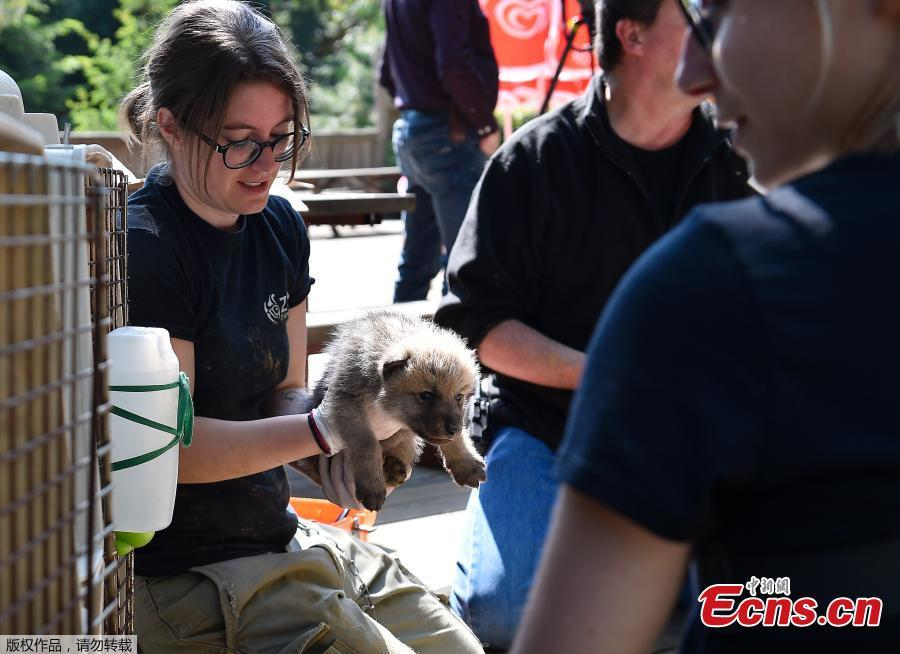 A zoo staff member takes care of one of the seven Artic white wolf cubs on May 23, 2019 at the zoological park of Amneville during an auscultation, a deworming, a weighing and a tagging. (Photo/Agencies)