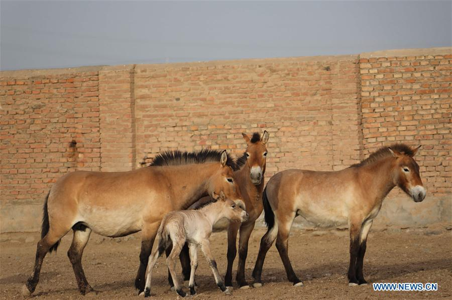 A foal of Przewalski\'s horse is seen with grown-ups at a wild horse breeding research center in northwest China\'s Xinjiang Uygur Autonomous Region, May 22, 2019. Four foals of Przewalski\'s horse, a type of endangered horse, have been born since the breeding season starts in May, a breeding center in northwest China\'s Xinjiang Uygur Autonomous Region said Thursday. Przewalski\'s horses are the only surviving horse subspecies never to have been domesticated. They have historically lived on grasslands that are now part of China\'s Xinjiang and Mongolia. (Xinhua/Zhang Hefan)