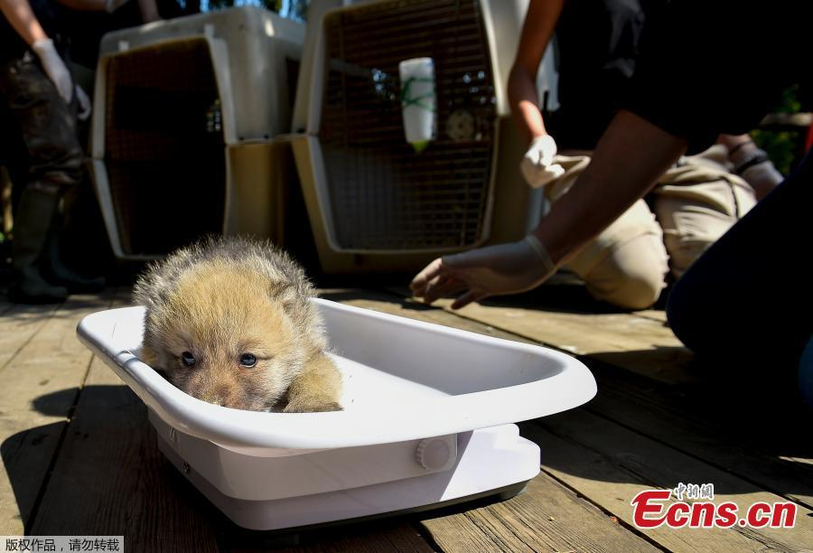 One of the seven Artic white wolf cubs is weighed on May 23, 2019 at the zoological park of Amneville, during a general auscultation including a deworming, a weighing and a tagging.(Photo/Agencies)