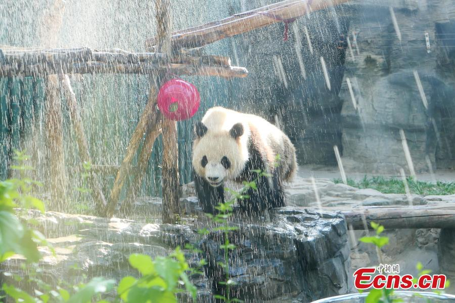 A giant panda is pictured enjoying a shower at Beijing Zoo on May 23, 2019 as the temperature in the city climbed up to 37 degree Celsius, the highest of the year so far. The zoo showers the Panda or sprays its house regularly to help the animal cope with the hot weather. (Photo: China News Service/Fan Jiashan)