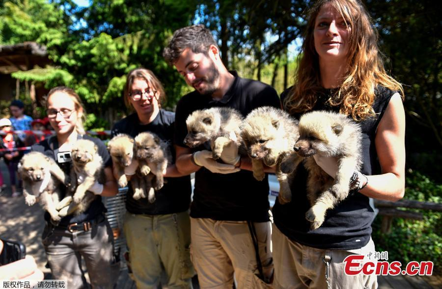Zoo staff hold seven Artic white wolf cubs on May 23, 2019 at the zoological park of Amneville after an auscultation, a deworming, a weighing and a tagging. (Photo/Agencies)