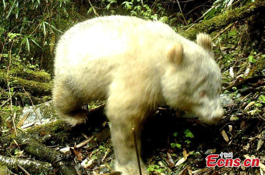 A rare all-white panda has been captured on cameras in the Wolong National Nature Reserve in Southwest China\'s Sichuan province, the reserve management authorities said on Saturday. The panda was captured in mid-April by an infrared camera about 2,000 meters above sea level in the wild, the authorities said. The panda has no spots on its body and its eyes look red. It was crossing the forest at the time.(Photo provided to China News Service)