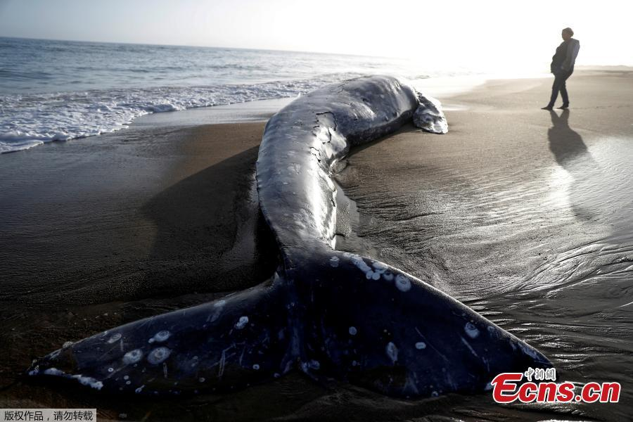A dead gray whale rests on Limantour Beach at Point Reyes National Seashore in Point Reyes Station, north of San Francisco, California, U.S., May 23, 2019. (Photo/Agencies)
