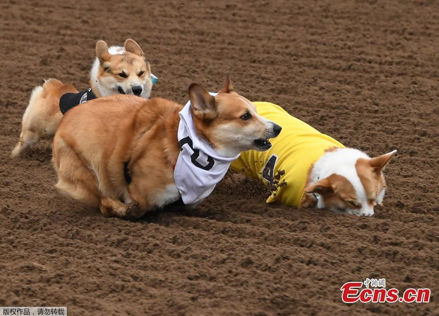 Corgi dogs race during the Southern California \