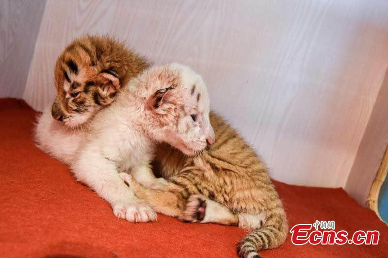 Twin tiger cubs celebrate their one-month anniversary at Hangzhou Safari Park in Hangzhou City, East China's Zhejiang Province, May 26, 2019.  The pair are considered rare as one is a golden tabby tiger and one a white tiger, both coloured versions of the Bengal Tiger subspecies. (Photo provided to China News Service)