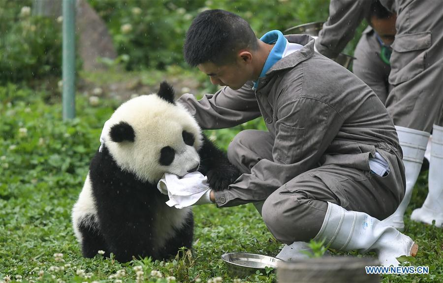 A breeder takes care of a baby giant panda at the \