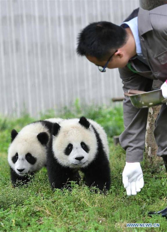 A breeder takes care of baby giant pandas at the \