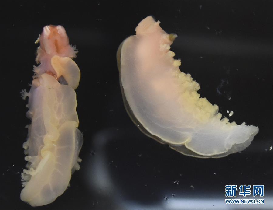 A marine organism found by unmanned remote sensing submersible Faxian (Discovery), which was released from the research vessel Kexue (Science) in the Mariana Trench, the world\'s deepest natural trench, May 27, 2019. Researchers will study the topography, hydrology and bioecology of the western Pacific Ocean\'s typical seamount during an expedition to the little-known seamounts in the Mariana Trench. (Photo/Xinhua)